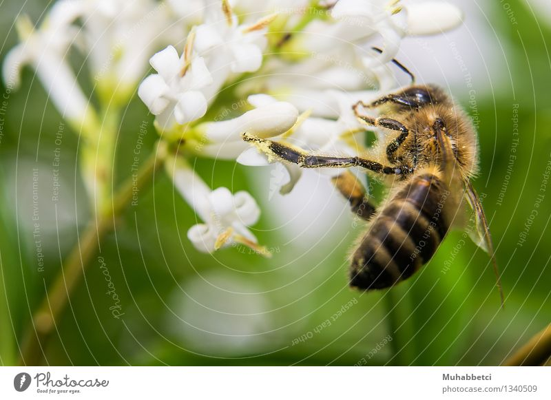 bee Bee Wing Eating Feeding Honey Blossom Insect Macro (Extreme close-up) Colour photo Exterior shot Close-up Day Shallow depth of field Deep depth of field