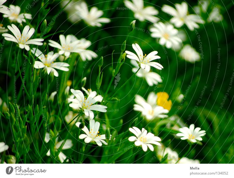 forest romance Flower Blossom Spring Blossoming Growth Flourish White Green Beautiful Romance glow strewn Shadow Beautiful weather chickweed