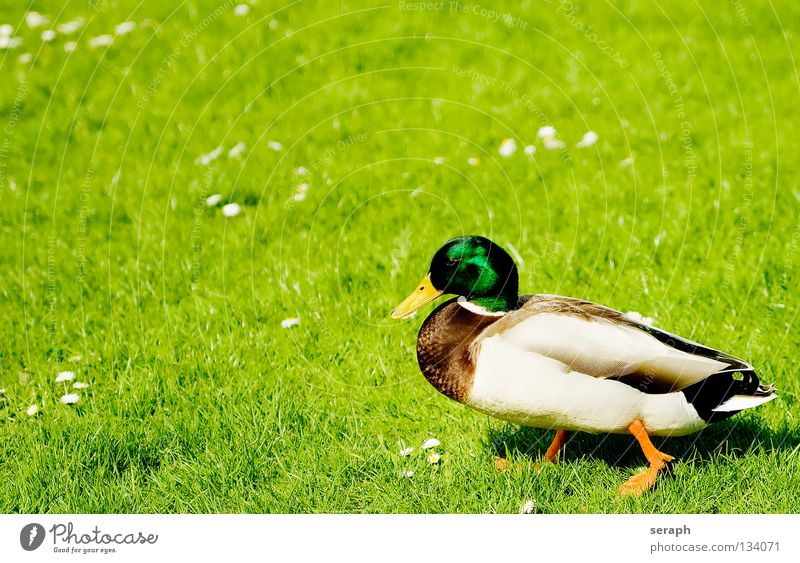 Duck Duck birds Relaxation Break Restful Bird Quack Beak Feather Mallard Animal Nature Masculine Wild animal Meadow Pasture Watchfulness Looking Drake
