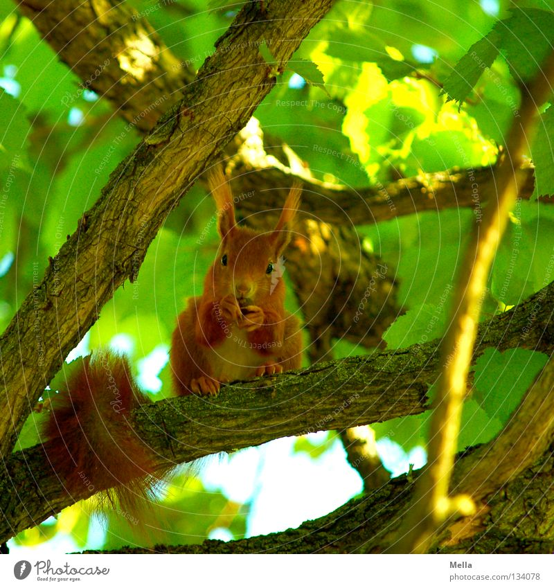 spring squirrel Environment Nature Plant Animal Spring Tree Leaf Wild animal Squirrel 1 To hold on To feed Crouch Looking Sit Natural Curiosity Cute Green