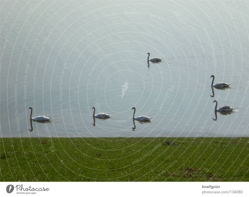 western Swan Direction Meadow Green White Bird Poultry Sunday morning Spring Water Vest Rhine Lawn Coast Blue River 6 pieces Float in the water