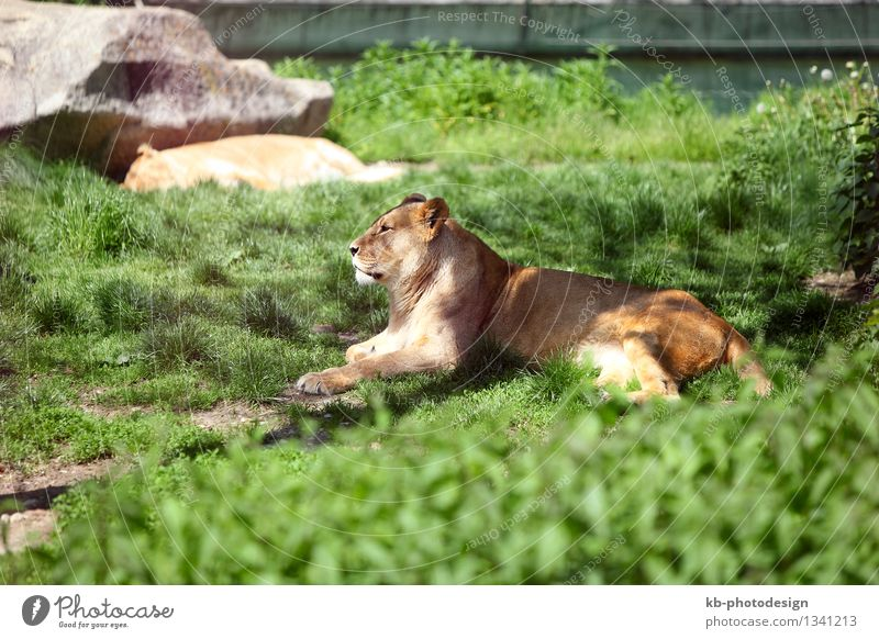 Relaxing lioness Lion Lioness 1 Animal Lie Africa big dangerous dying enclosure free freedom For hide hostile mammal meadow protection strong tired tiredness