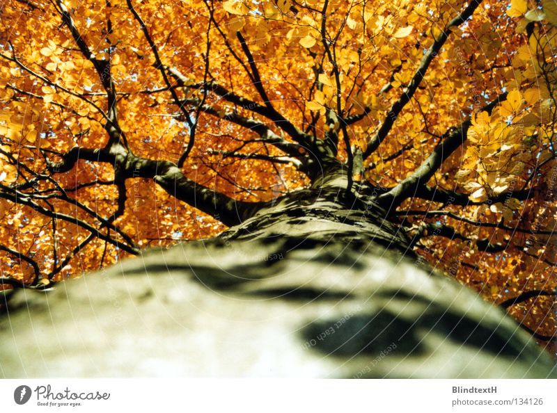 Nature Tree Leaf Autumn Above Orange Gold Might Branch Tree trunk Tree bark Branched