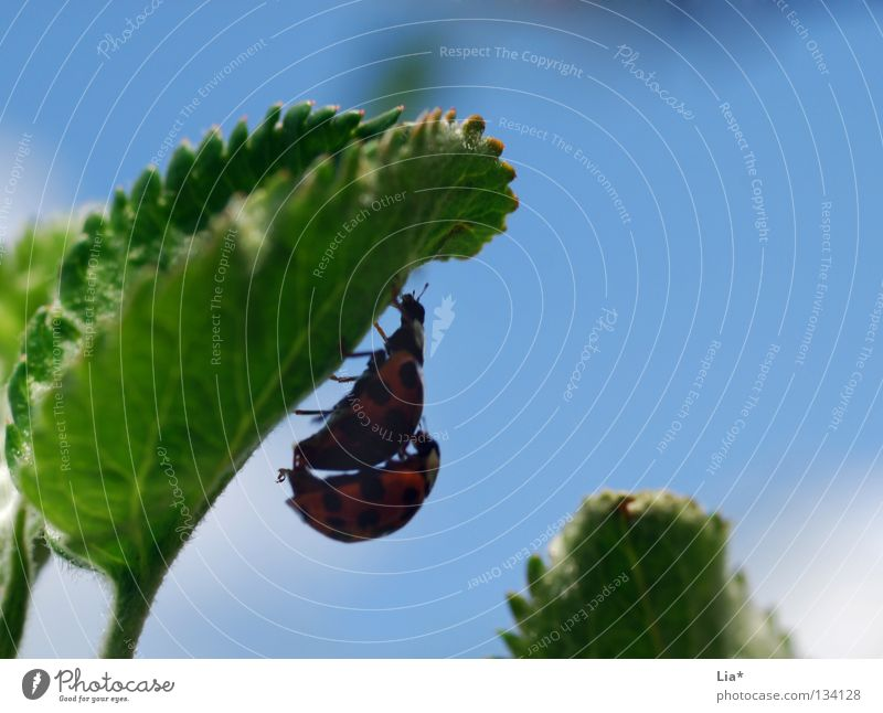 beetle love II Ladybird Insect Green Biology Small Crawl Leaf 2 Beetle planning ahead Macro (Extreme close-up) Close-up Flying Blue Hide Shadow In pairs