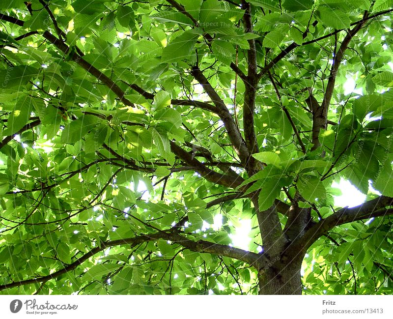 Tree Green Summer Chestnut tree