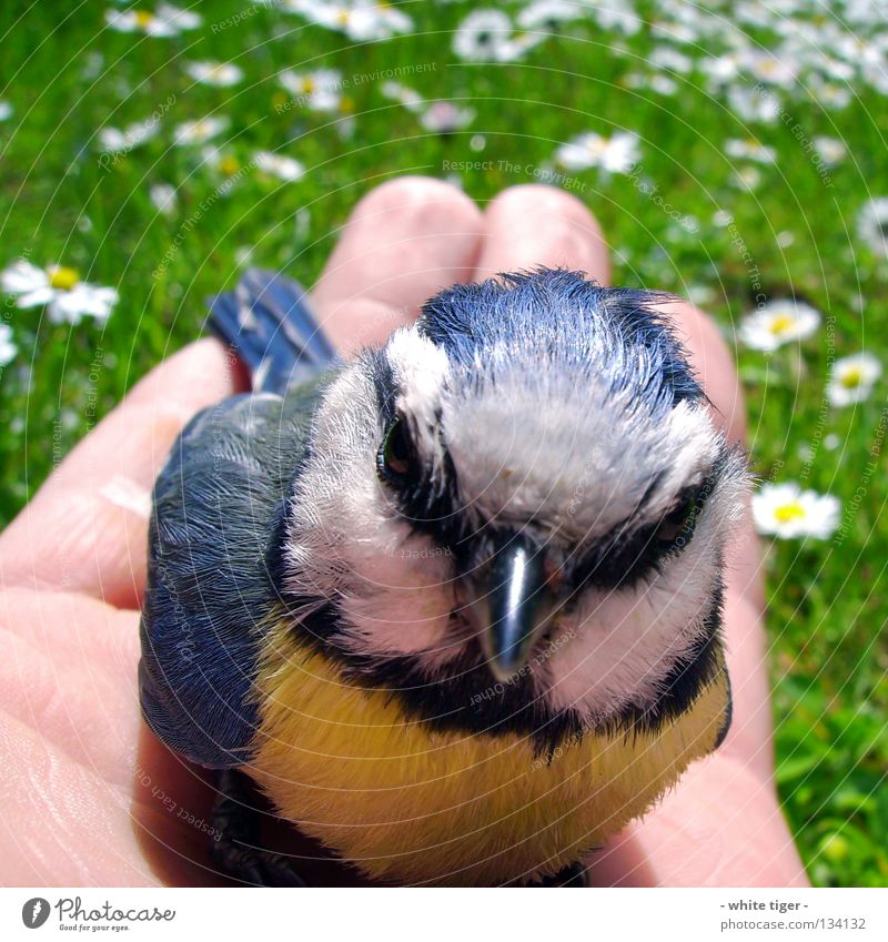 Disc Accident #4 Skin Hand Fingers Nature Animal Grass Bird Small Soft Blue Yellow Black White Protection Safety (feeling of) Help Tit mouse Beak Needy Delicate
