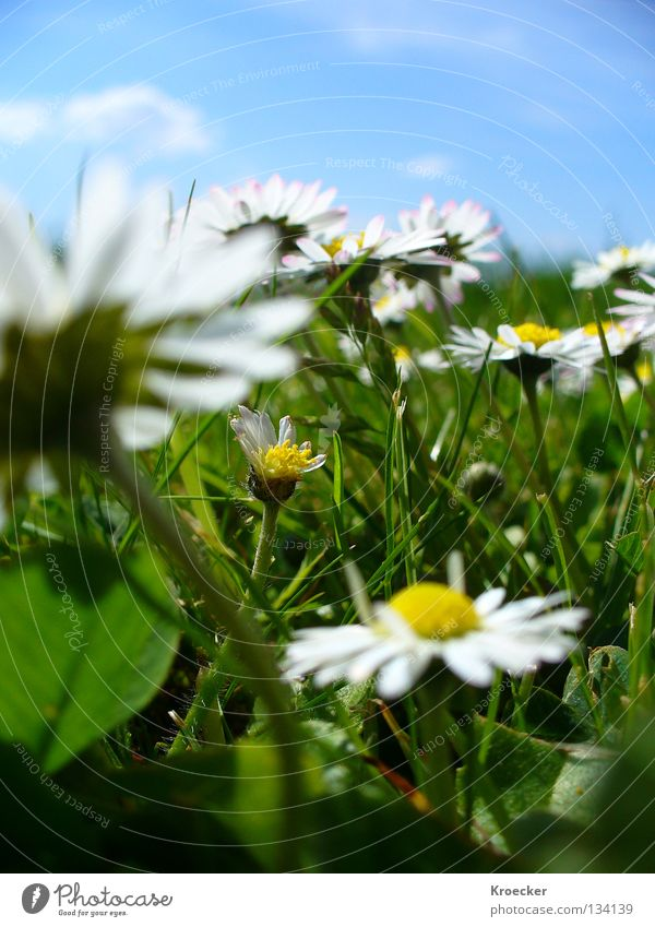 daisy meadow Beautiful Life Calm Warmth Flower Meadow Growth Blue Green Peace Concentrate Daisy Light blue Clover Cloverleaf Blue sky Lawn Grass Clear sky
