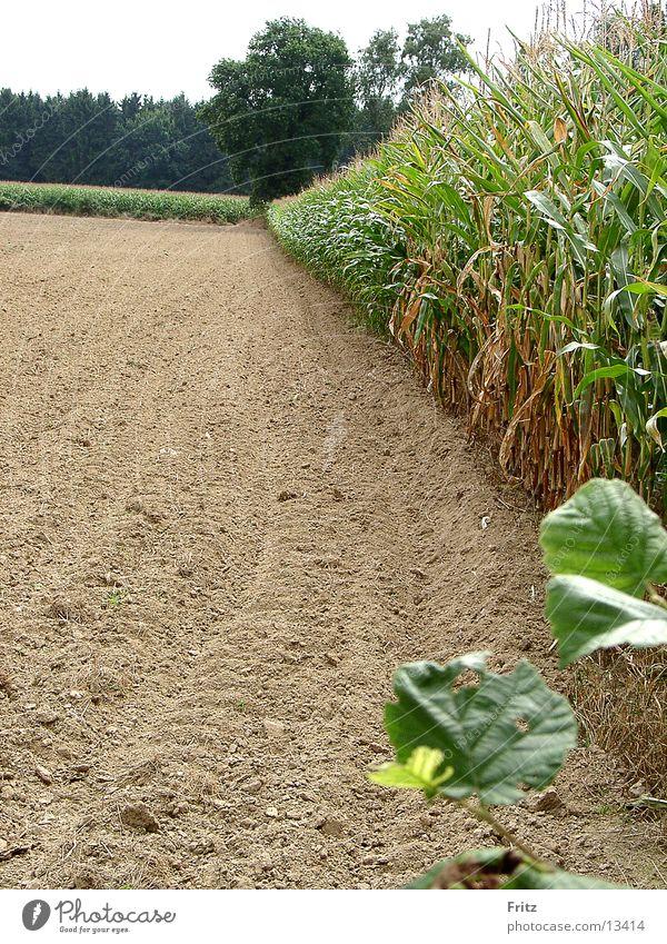 field-in-summer Field Summer Maize