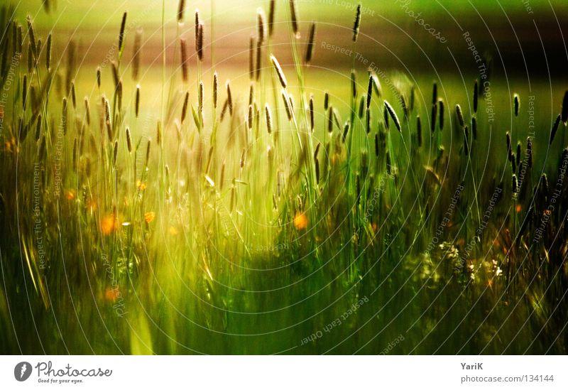 multicoloured light shine Plant Meadow Grass Blade of grass Flower Field Wind Autumn Dark Evening Night Moonlight Black Shadow Green Brown Dark green Eerie