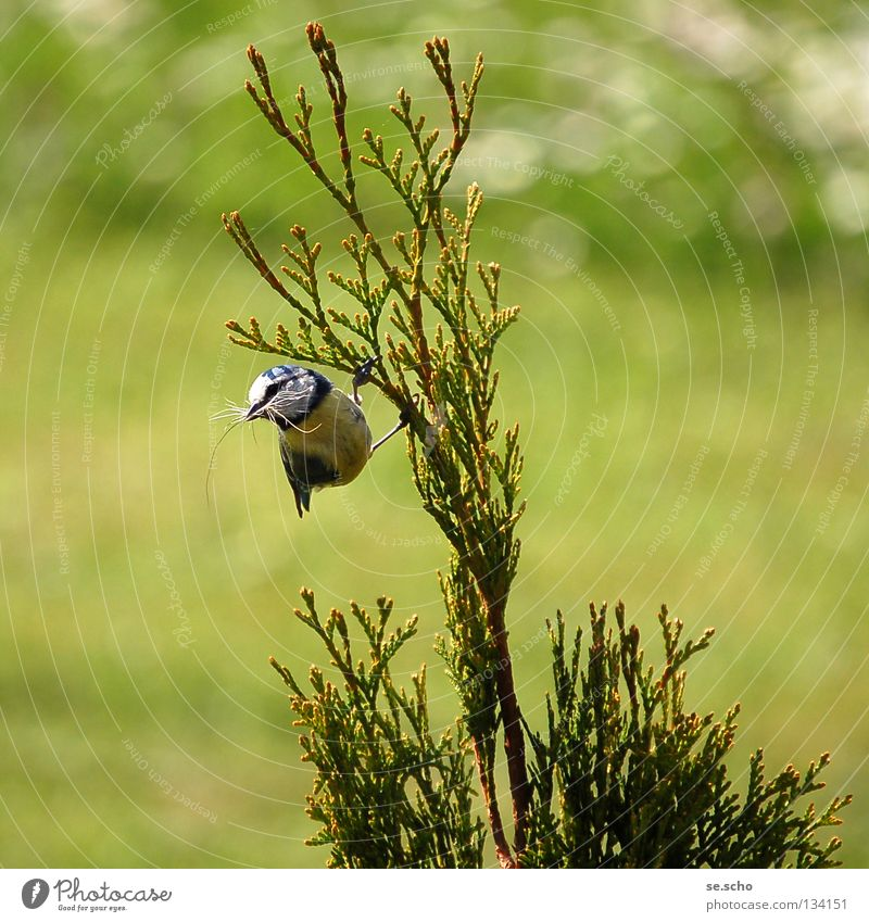 Meadow Spring Bird Contentment Bushes Twig Nest Tit mouse Nest-building Tit mouse