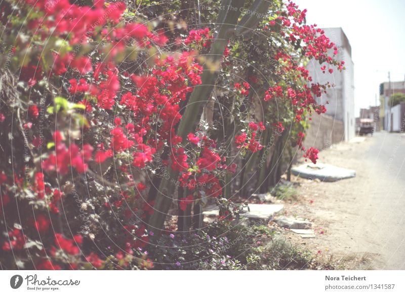 Flowery. (Huanchaco, Peru) Environment Nature Plant Summer Weather Beautiful weather Tree Bushes Leaf Blossom Wild plant Garden Park Trujillo South America