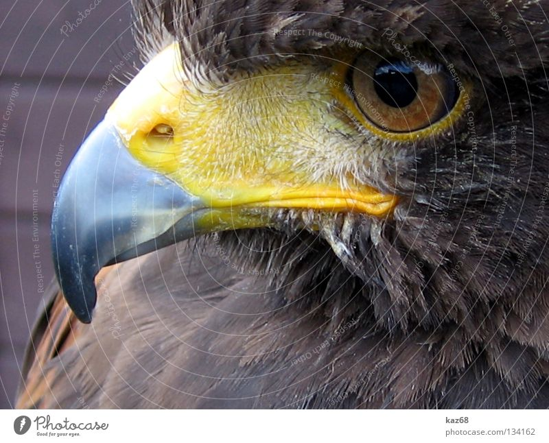 Hermann Eagle Bird of prey Watchfulness Beak Feather Ornithology Beautiful Animal Environment Plumed Captured Motionless Checkmark Eagles eyes Hawk Owl birds