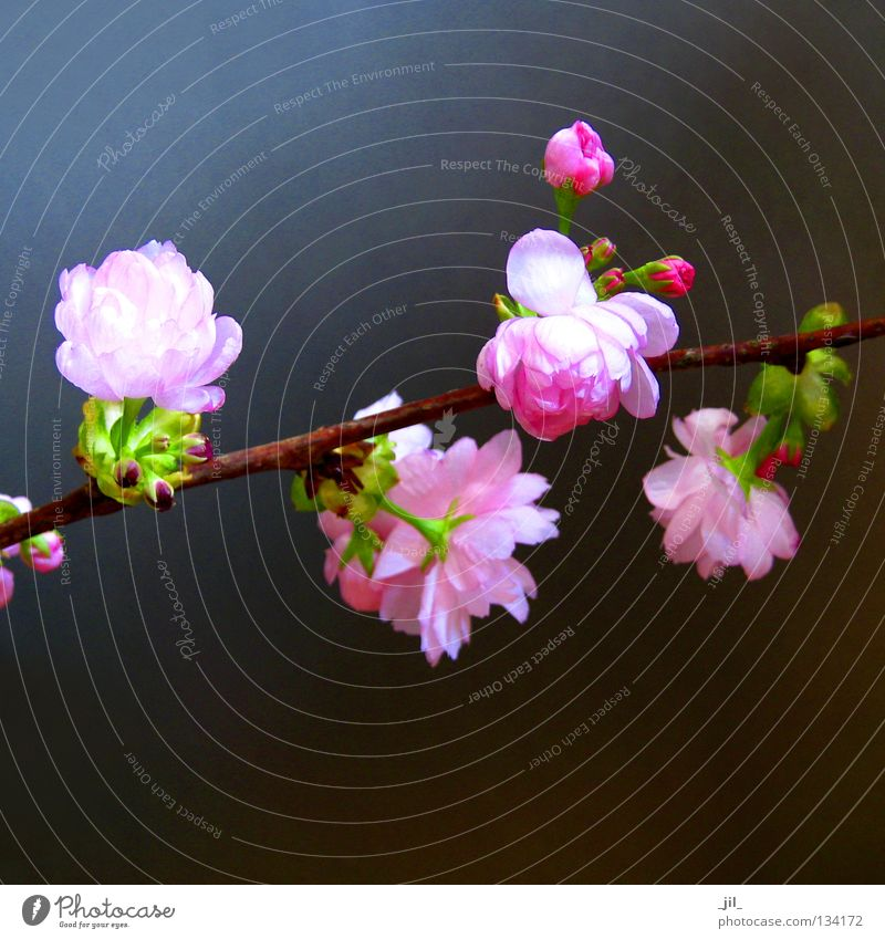 cherry blossom 4 Elegant Happy Beautiful Harmonious Well-being Contentment Relaxation Fragrance Plant Spring Flower Blossom Esthetic Soft Brown Gray Green Pink