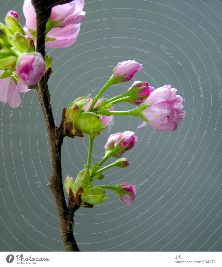 cherry blossom 5 Elegant Beautiful Well-being Fragrance Nature Plant Spring Flower Blossom Brown Gray Green Pink Pure Cherry blossom Branch Twig Japan Asia