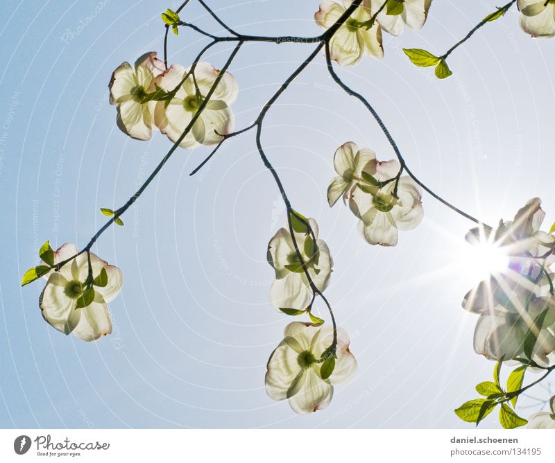 Nature Sky White Tree Sun Flower Blue Summer Blossom Spring Perspective Bushes Beautiful weather Bud