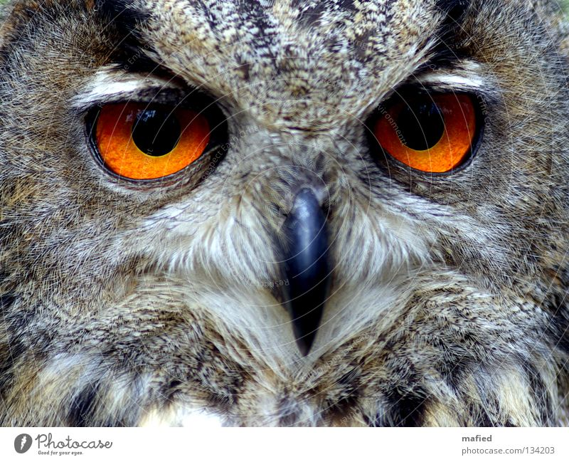 Eagle owl III Hunter Bird of prey Calm Beak Feather Sense of hearing Brown Gray Black Yellow Soft Smoothness Peace Game park Air show night hunter