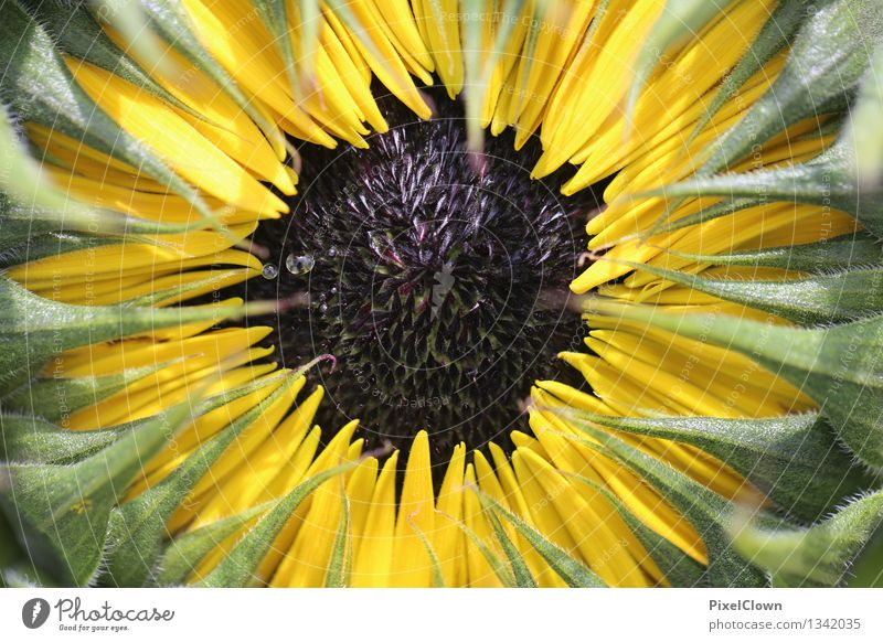 sunflower Cooking oil Beautiful Cosmetics Alternative medicine Wellness Harmonious Relaxation Calm Vacation & Travel Summer Agriculture Forestry Nature Plant