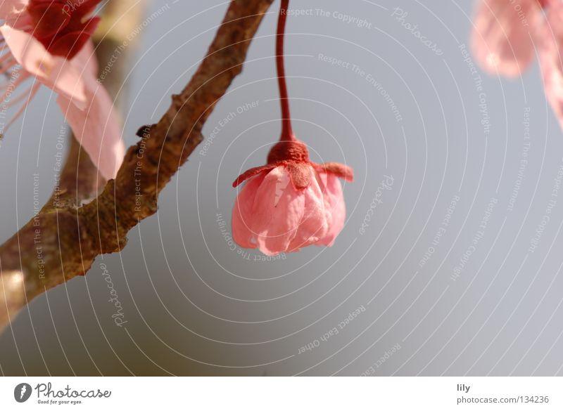 pendulous Pink Blossom Tree Apple tree Harmonious Macro (Extreme close-up) Close-up Branch Fruit
