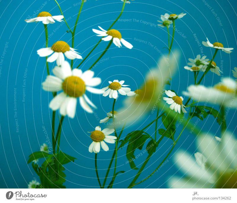 Nature White Flower Green Blue Plant Summer Yellow Spring Fresh Multiple Easy Many Ease Fine Graceful