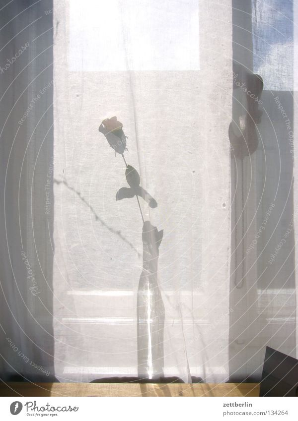 Rose for you Vase Flower Flower vase Window Curtain Summer Romance Relationship Decoration