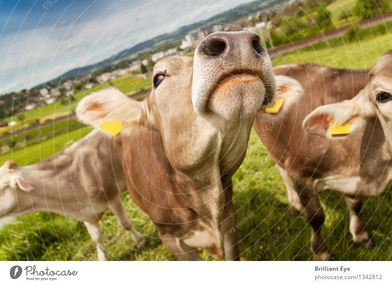 We, the Swiss Cows Summer Agriculture Forestry Nature Meadow Animal Farm animal Group of animals To feed Authentic Free Happy Curiosity Brown Moody Contentment