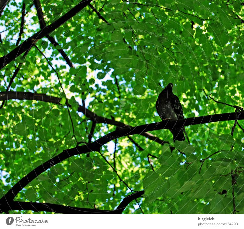 birds in the tree I Colour photo Exterior shot Deserted Morning Worm's-eye view Spring Tree Leaf Bird Pigeon 1 Animal Green pigeon birds springtime Branch Twig