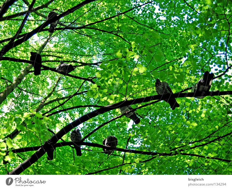 birds in the tree II Colour photo Exterior shot Deserted Morning Worm's-eye view Spring Tree Leaf Animal Bird Pigeon Group of animals Green pigeon birds