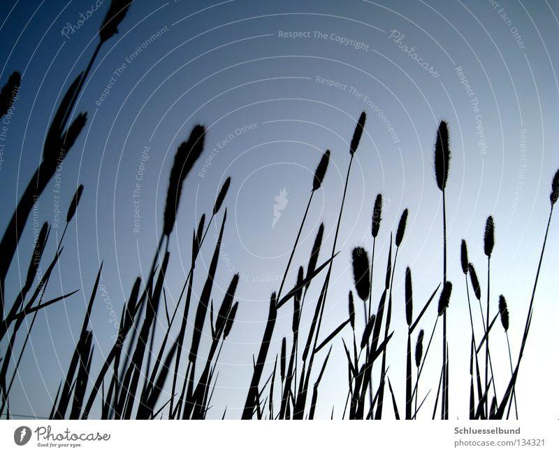 giant grass Sky Spring Grass Meadow Dark Thin Bright Long Blue Black Cloudless sky Back-light Copy Space top Colour photo Multicoloured Exterior shot Deserted