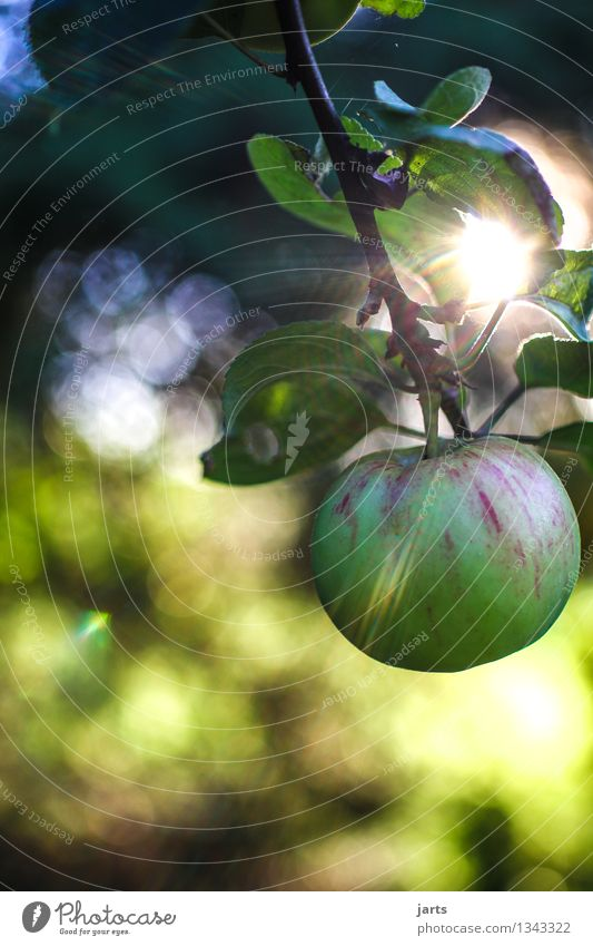 we reap what we sow Food Fruit Apple Organic produce Plant Autumn Beautiful weather Tree Garden Fresh Healthy Natural Round Juicy Sour Nature Apple tree Harvest