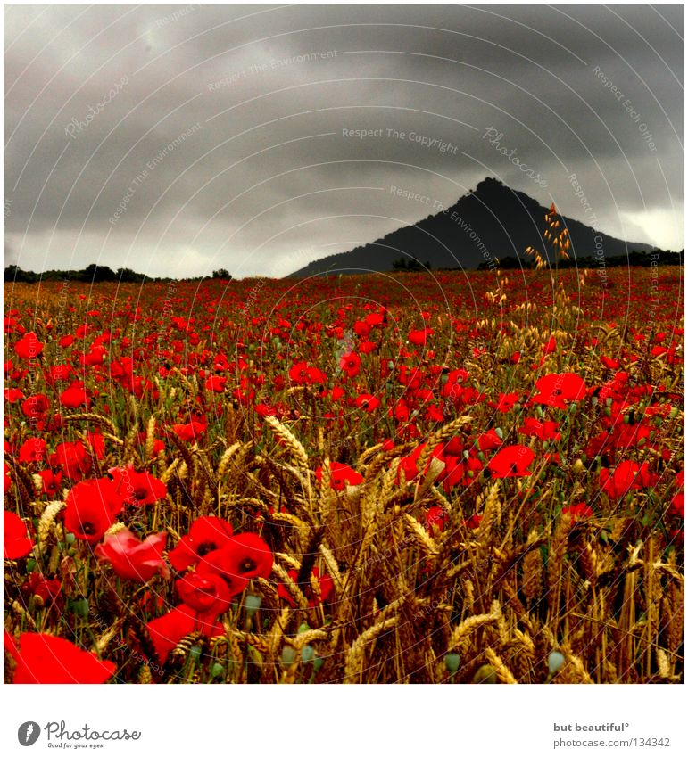 poppy seed° Poppy Field Moody Gray Poppy field Clouds Poetic Mysterious Summer Beautiful Mountain Sky factories Grain Sadness