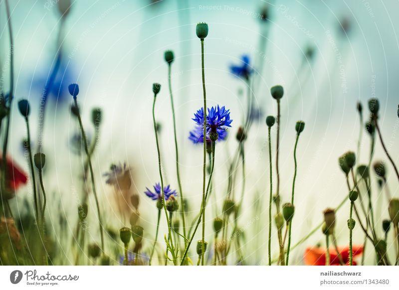 Nature Plant Blue Beautiful Summer Sun Flower Environment Natural Garden Field Growth Idyll Blossoming Romance Fragrance