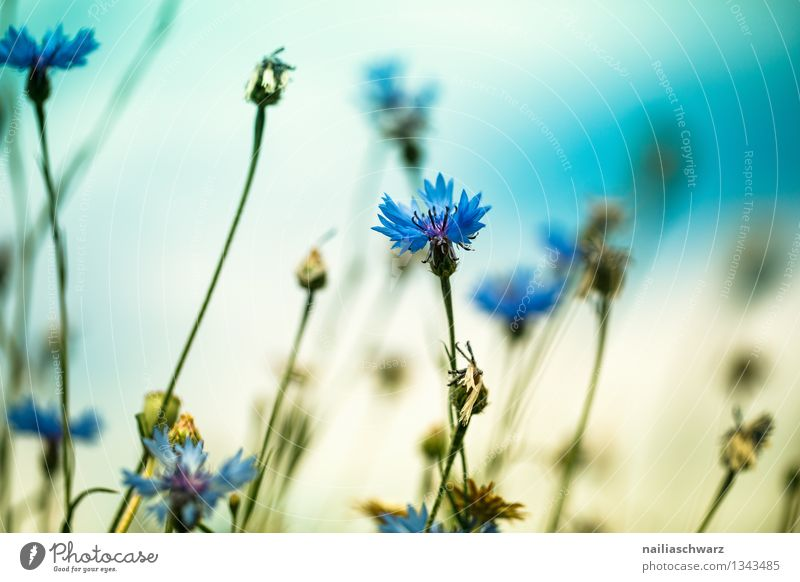 Field with cornflowers Summer Sun Environment Nature Landscape Plant Spring Flower Blossom Wild plant Blossoming Growth Natural Beautiful Blue Yellow Romance