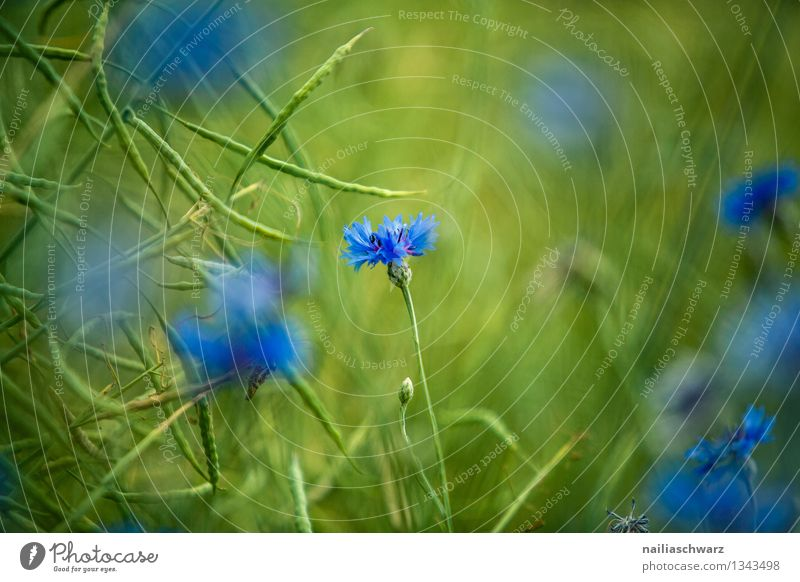 Field with cornflowers Summer Sun Environment Nature Plant Spring Flower Grass Blossom Wild plant Blossoming Growth Natural Beautiful Blue Green Spring fever