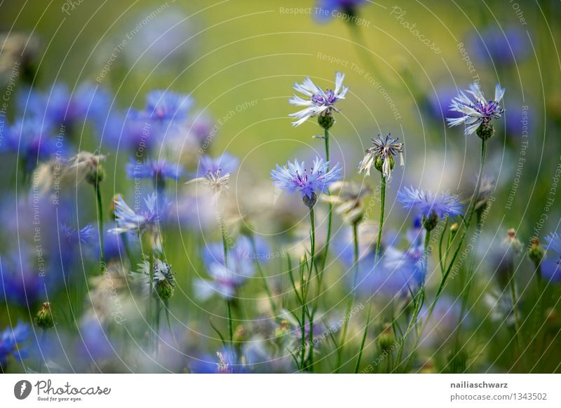 Field with cornflowers Summer Sun Environment Nature Plant Flower Blossom Wild plant Garden Park Blossoming Growth Natural Beautiful Blue Spring fever Romance
