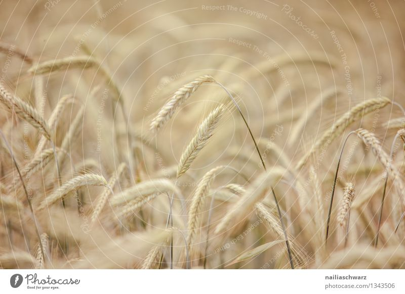 wheat field Grain Summer Agriculture Forestry Environment Nature Plant Autumn Agricultural crop Grain field Field Growth Natural Beautiful Yellow Peaceful