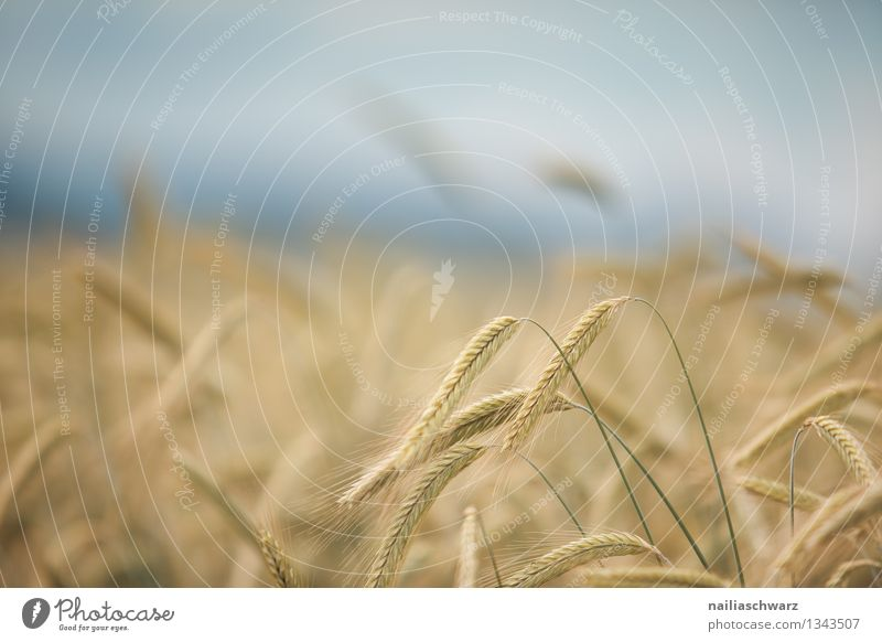 wheat field Grain Summer Agriculture Forestry Environment Nature Landscape Horizon Plant Agricultural crop Field Growth Healthy Infinity Natural Beautiful Blue