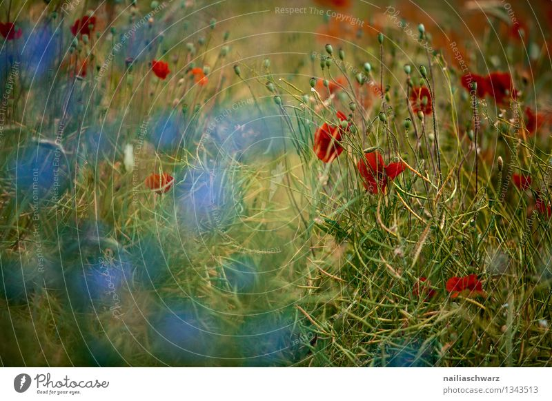 Poppies and cornflowers Summer Sun Environment Nature Plant Flower Blossom Wild plant Field Blossoming Growth Natural Blue Green Red Romance Peaceful Cornflower