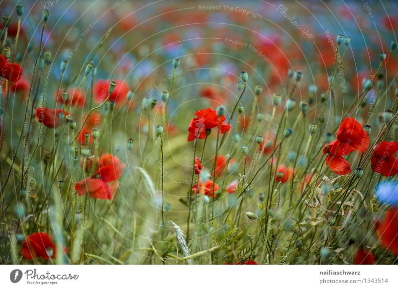 Poppies and cornflowers Summer Sun Environment Nature Plant Flower Blossom Wild plant Meadow Field Fragrance Growth Blue Green Red Romance Peaceful Idyll