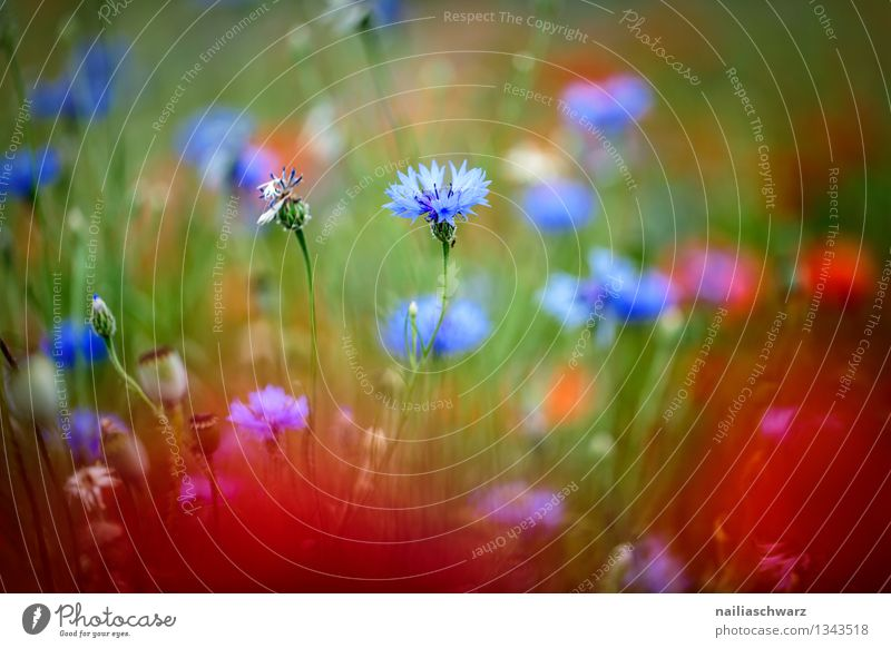 Poppies and cornflowers Summer Sun Environment Nature Plant Flower Garden Field Blossoming Growth Natural Beautiful Blue Multicoloured Red Peaceful Cornflower