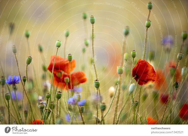 Poppies and cornflowers Summer Sun Environment Nature Plant Flower Wild plant Meadow Field Blossoming Growth Natural Blue Yellow Red Romance Peaceful Idyll