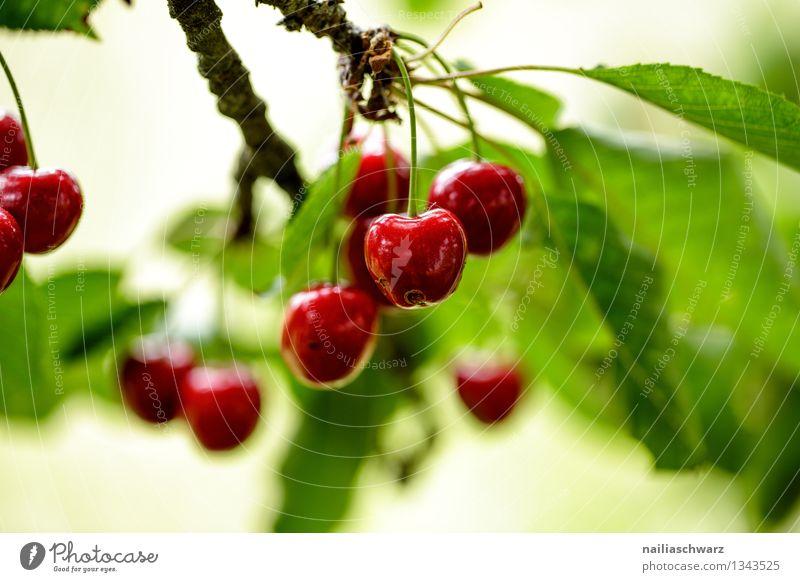 cherries Fruit Nutrition Organic produce Vegetarian diet Diet Summer Tree Leaf Agricultural crop Healthy Natural Juicy Sour Beautiful Sweet Green Red