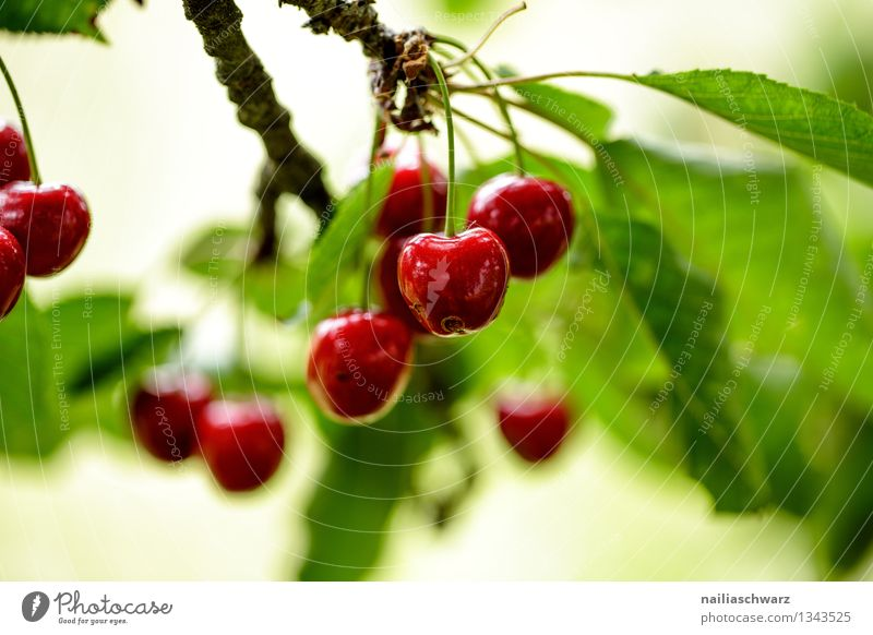 Green Beautiful Summer Tree Red Leaf Environment Natural Healthy Fruit Nutrition To enjoy Branch Sweet Twig Organic produce