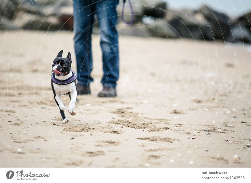 Man with Boston Terrier Joy Playing Vacation & Travel Beach Ocean Adults Sand Coast Dog 1 Animal Walking Running Romp Free Happy Funny Cute Beautiful Wild