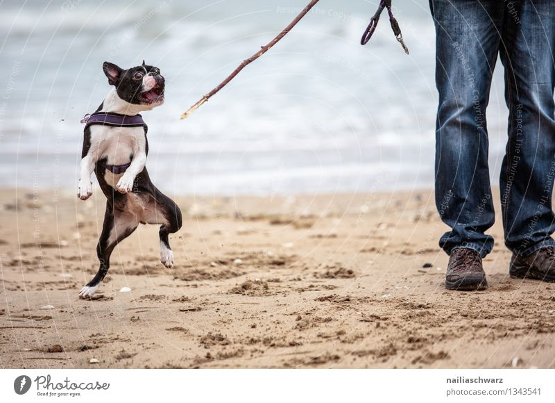 Man with Boston Terrier Joy Playing Vacation & Travel Beach Ocean Adults Animal Sand Coast Jeans Pet Dog 1 Stick Happiness Together Cute Beautiful Blue Brown
