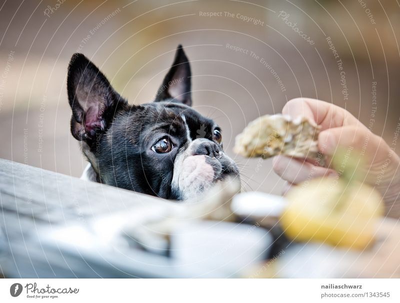 Boston Terrier at the restaurant Bread Finger food Table Restaurant Dog 1 Animal Observe Happiness Delicious Curiosity Cute Sympathy Love of animals Desire