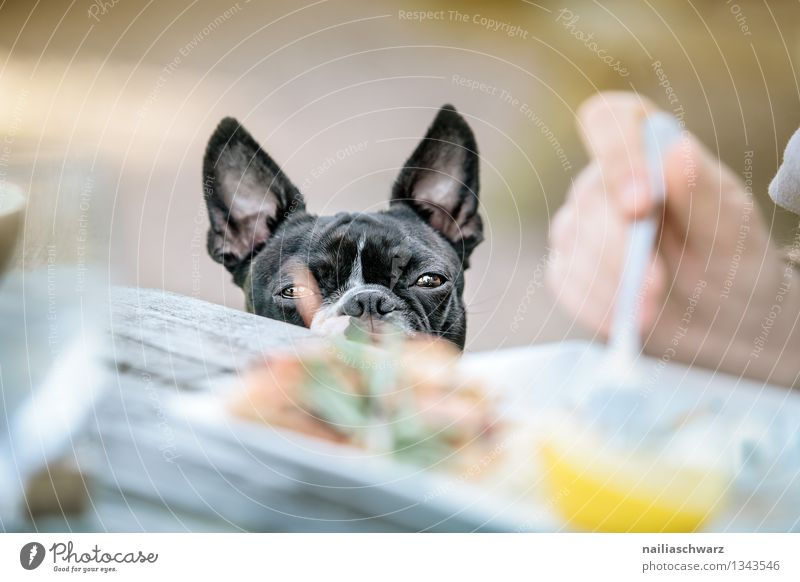 Dog Man Black Adults Natural Gray Brown Happiness Wait Table Observe Cute Curiosity Hope Delicious Restaurant