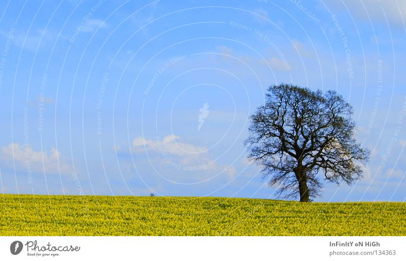 Nature Sky Tree Blue Calm Clouds Yellow Spring Freedom Field Wind Canola