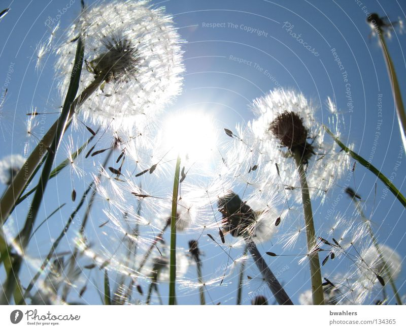 Nature Sky White Sun Flower Blue Meadow Blossom Landscape Bright Lighting Field Transience Hat Dandelion Seed