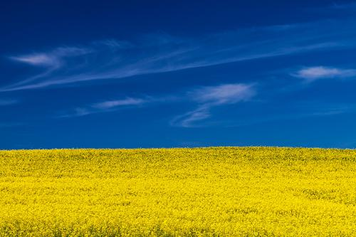 Nature Plant Blue Landscape Clouds Yellow Weather Field Beautiful weather Agriculture Mecklenburg-Western Pomerania Forestry Agricultural crop Canola Cheerful