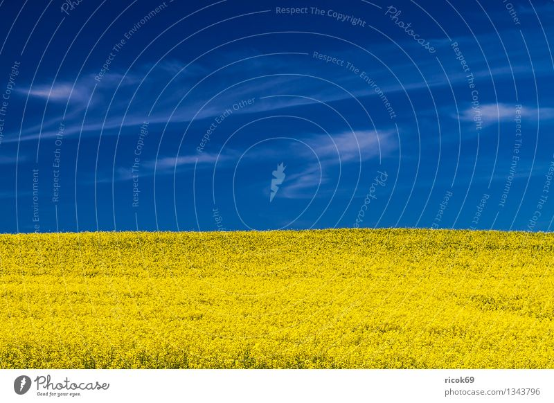 rapsfeld Agriculture Forestry Nature Landscape Plant Clouds Weather Beautiful weather Agricultural crop Field Blue Yellow Canola Mecklenburg-Western Pomerania